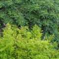 The natural dark green and light color green tree leaves background Royalty Free Stock Photo