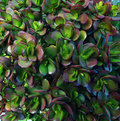 Natural decorative bush leafs pattern background of green violet money tree Royalty Free Stock Photography