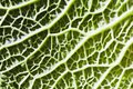 Natural detail green background closeup of a savoy cabbage Royalty Free Stock Image