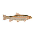 Natural flat trout Royalty Free Stock Photo