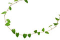 Natural frame of heart-shaped green leaf vine, Raphistemma hoope Royalty Free Stock Photo