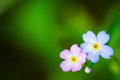 Natural green background with spring forget me not flowers Royalty Free Stock Photo