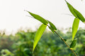 Natural green bamboo leaf with wather drop. Royalty Free Stock Photo