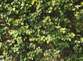Natural green ivy leaves wall texture Royalty Free Stock Photo