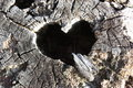 Natural heart shape in stump the center of a cedar Royalty Free Stock Images