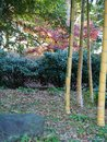 Natural Japanese bamboo garden Royalty Free Stock Photo