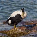 Male eider duck somateria mollissima standing on rock in water