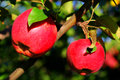 Natural organic farm colorful two red apples on tree branch Royalty Free Stock Photo