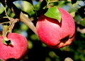 Natural organic farm red apples on tree branch Royalty Free Stock Photo