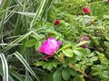 natural pink rose growing in green garden Royalty Free Stock Photo