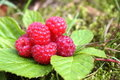 Natural raspberries Royalty Free Stock Images