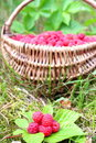 Natural raspberries Stock Photo
