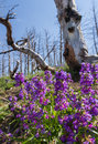 Natural regeneration beautiful purple spring flowers growing where years back a wild fire had consumed all life in its path Stock Photos