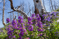 Natural regeneration beautiful purple spring flowers growing where years back a wild fire had consumed all life in its path Stock Images