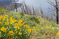 Natural regeneration beautiful yellow spring flowers growing where years back a wild fire had consumed all life in its path Stock Photo