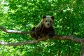Bears in a forest from Zarnesti natural reserve, near Brasov, Transylvania, Romania Royalty Free Stock Photo