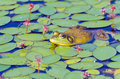 A natural setting of a bull frog lying on lily pads in a lake Stock Image