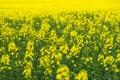Natural springtime oilseed rape field Royalty Free Stock Photo