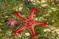 Natural starfish in the sea with brown shell Royalty Free Stock Photo