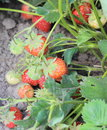 Natural strawberry bush growing in the garden closeup of Stock Image