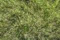 Natural texture. Bristly grass