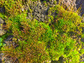 Natural texture of green moss Royalty Free Stock Photo