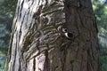 Tree bark looks like carving Royalty Free Stock Photo