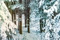 Natural white snow, hoarfrost on the branches, the needles of Siberian pine,spruce in dark coniferous forest,