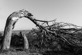 Natural wrong way tree in algarve portugal growing in the direccion Royalty Free Stock Photos
