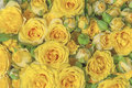 Natural yellow roses beauty blooming bouquet decoration background Royalty Free Stock Photo