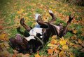 Funny English Bull Terrier rolling, enjoying warm autumn in the nature