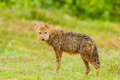 Nature asiatic jackal or golden smiling at us Stock Photo