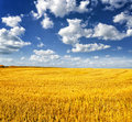 Nature autumn landscape yellow field and blue sky Stock Photography