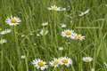 Nature Background with blossoming daisy flowers Royalty Free Stock Photo