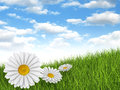 Nature Background - Daisies In...