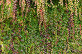 Nature Background Of Ivy In Au...