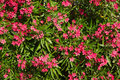 Nature background with Pink Flowers oleander Royalty Free Stock Photo