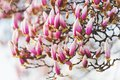 Nature background with pink magnolia flowers Royalty Free Stock Photo