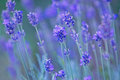 Nature backgrounds lavender photo of beautiful flowers Royalty Free Stock Images
