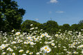 Nature beautiful green meadow with a lot of marguerites Royalty Free Stock Image