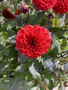 stock image of  Red flower