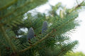 Nature blue cones on fir karelian Stock Photo