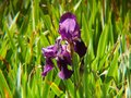 purple iris flower in a garden and green leaves Royalty Free Stock Photo