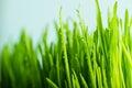 Nature fresh green grass with dews drop close up of Stock Photos