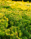 Nature green background thick acerate bushes Stock Photo