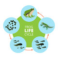 Nature infographic illustrations of frog life cycle. School vector pictures isolate