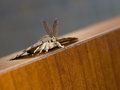 Nature macro gypsy moth lymantria dispar dispar aka face showing clearly the large feathery antennae Stock Photo