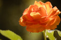 Nature. Orange Rose Flower For...
