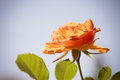 Nature. Orange Rose Flower For...