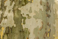 Nature painting trunk of plane tree image was taken on july Stock Photo